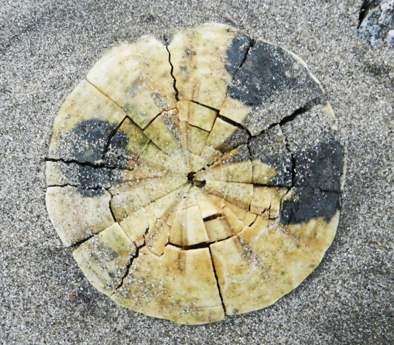 sanddollar