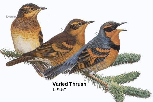 birds-Thrush-Varied